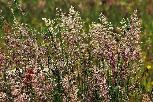 žolės,žolė,žydėjimo žolė,gamta,pieva,Halme,žaislinė žolė,žolės žolės,augalas,žolės ausys,spiglys,laukas,Uždaryti,flora,botanika,botanikos,gėlės,vasara,metų laikas,auginami laukiniai,laukinis pievas,žalias,laukinės žolės,laukinė žolė