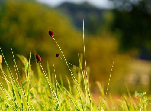 žolės,žolė,saulėlydis,gamta,žalias,augalas,žaislinė žolė,pieva,žolės mentė,kraštovaizdis,žalia žolė,spiglys,Nebaigtas,žole pieva,vasaros pieva,nuotaika,fonas