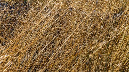 žolės,makro,uždaryti vaizdą,žolė,laukinė žolė,Uždaryti,laukiniai,gamta,nendrė,flora,žolės žolės,halem,niūrus,dehidratuotas