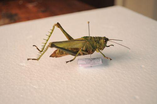 žiogas,vabzdys,entomologija,sparnas,gamta,žolė,žalias