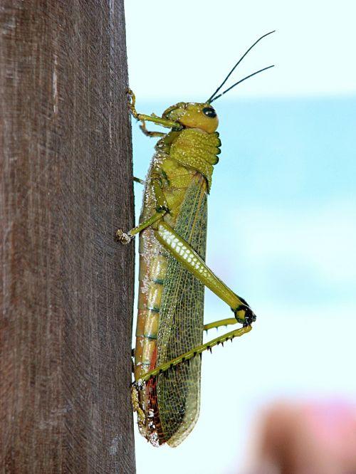 žiogas,vabzdys,sparnas,laukinė gamta,mažas,antenos,krūtinės angina,laukiniai,entomologija,lauke,gyvenimas,gamta,bestuburiai