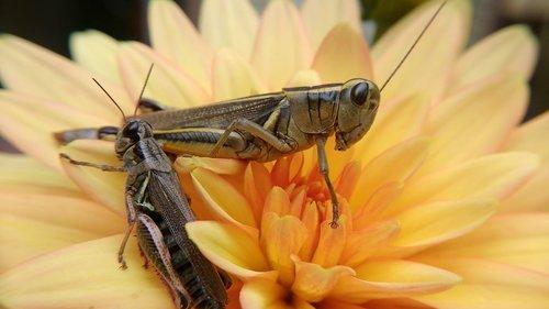 žiogas, vabzdys, gėlė, Re, pobūdį, gyvūnas, entomologija, oranžinis