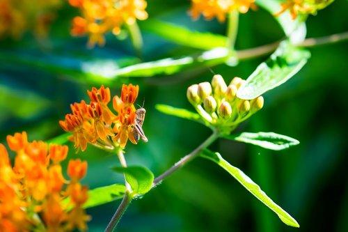 žiogas, vabzdys, pavasaris, gėlė, milkweed, makro