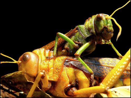 žiupsneliai,žiogas,vabzdys,Uždaryti,viridissima,makro,žalias,gamta,gyvūnai,gyvūnas,makro nuotrauka,vabzdžių makro,fauna,kojos,akys,zondas,kovoti