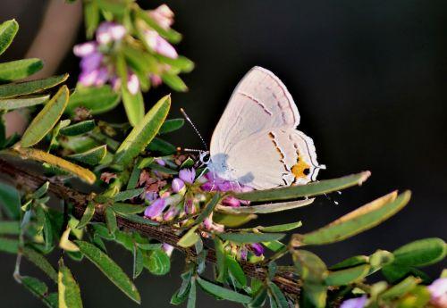 gamta, laukinė gamta, gyvūnai, vabzdžiai, drugeliai, pilka, pilka, šlubuoti, pilka & nbsp, garbanoti & nbsp, drugelis, sipping, gerti, rožinis, laukinės vasaros spalvos, žalios spalvos & nbsp, lapai, juoda, fonas, vasara, pilka gaudyklės drugelis 2