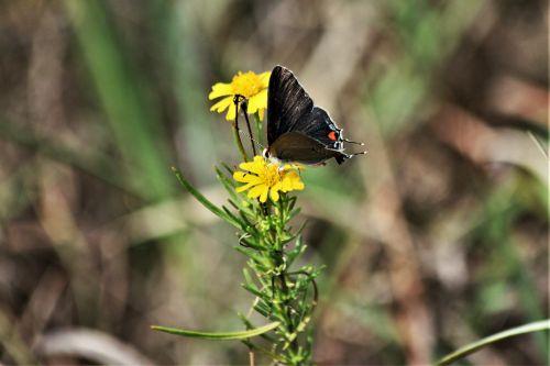 gamta, laukinė gamta, gyvūnai, vabzdžiai, drugeliai, pilka & nbsp, drugelis, pilka & nbsp, garbanoti & nbsp, drugelis, sėdi, gėlė, geltona & nbsp, gėlė, wildflower, geltona ir wildflower, Iš arti, pilka gaudyklės drugelis ant gėlių
