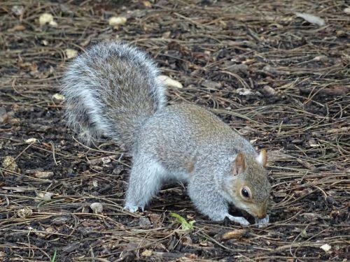 voverė, voverės, pilka, pilka, gyvūnas, gyvūnai, gamta, miškas, miškai, pilka voverė