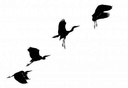 gyvūnas, gyvūnų dalis & nbsp, kūno dalis, paukštis, gyvūnų akis, gyvūnas & nbsp, kojas, gyvūnas & nbsp, galūnė, gyvūnas & nbsp, kaklas, gyvūninė & nbsp, laukinė gamta, gyvūnų sparnas, gyvūnai & nbsp, laukiniai, Awe, snapas, paukštis & nbsp, žiūri, mėlynas, mėlyna & nbsp, heronė, Egret, aplinka, plunksna, pilka, didelis mėlynas garnys