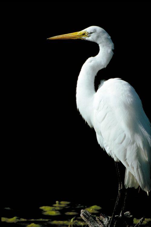 didžioji egret,vandens paukščiai,paukštis,didelis,heronas,šlapynes,visi baltos spalvos,plumėjimas,casmerodius albus