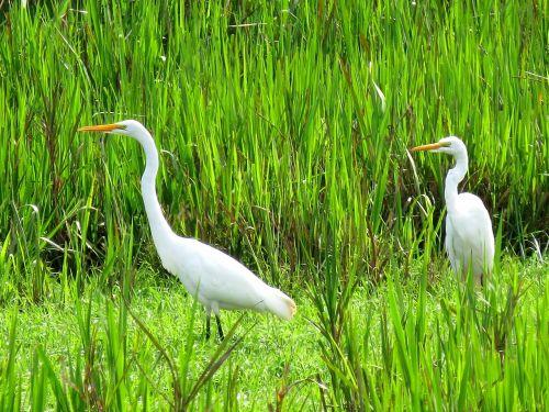 Didžioji Egret, Paukštis, Fauna, Paukščiai, Gamta, Atogrąžų Paukščiai, Aplinka, Brazilijos Fauna