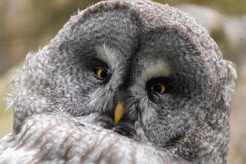 gyvūnas, snapas, paukštis, Iš arti, akis, veidas, plunksna, pilka, puiku, pilka, pelėdos, portretas, Strix, laukiniai, laukinė gamta, protingas, geltona, puikus pilka pelėda