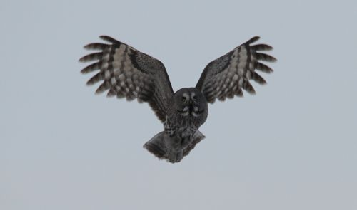 labai pilka pelėda,paukštis,laukinė gamta,gamta,skraidantis,sparnai,plėšrūnas,raptoras,naktinis,lauke,medžiotojas,žiūri