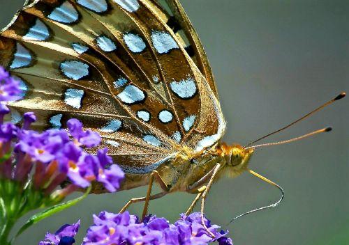 drugelis, makro, uždaryti & nbsp, puikus & nbsp, spangled & nbsp, fritillary, subtilus, sparnai, augalas, laukinė gamta, gamta, viešasis & nbsp, domenas, tapetai, fonas, gėlė, žydėti, speyer & nbsp, cybele, žiedas, nektaras, šiaurę & nbsp, amerikietis, puikus spangled fritillary drugelis