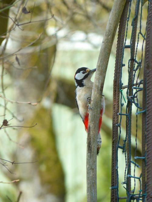 puikus dėmėtojas,dendrocopos major,paukštis,gyvūnas,dzenis,picidae,piciformes,priklausyti,sėdėti,laukti,dėmesio,spalvinga,gražus,graži,elegantiškas,sodas