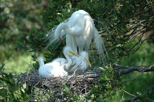 heronas, puikus & nbsp, baltas, paukštis, lizdą, laukinė gamta, gamta, florida, lauke, kraštovaizdis, kūdikiai, mylėti, didžioji balta česnakė ir jos kūdikiai