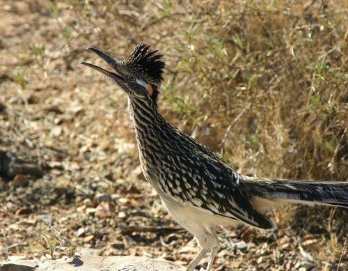 didesnis ratų pavara,paukštis,laukinė gamta,gamta,portretas,gegutė šeima,geococcyx californianus,chaparral gaidys,žemės gegutė,gyvatė žudikas,snapas,plėšrūnas,plunksna,kelio bėgikas