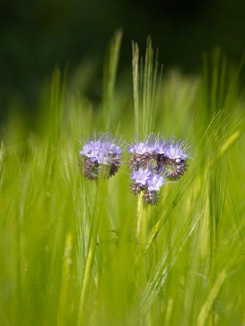 žalias,grūdai,laukas,gamta,Žemdirbystė,laukinės kultūros,kukurūzų laukas,kraštovaizdis,grūdai,augalas,pieva,ausis,kaimas,halem,rugių laukas