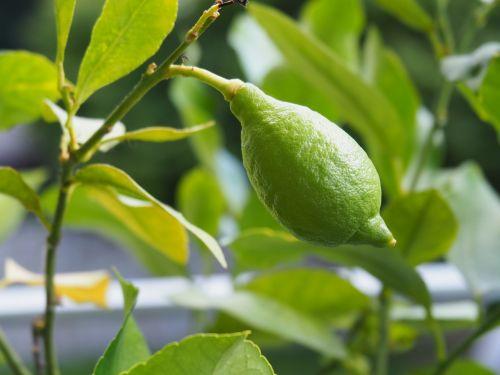 žalias,citrina,vaisiai