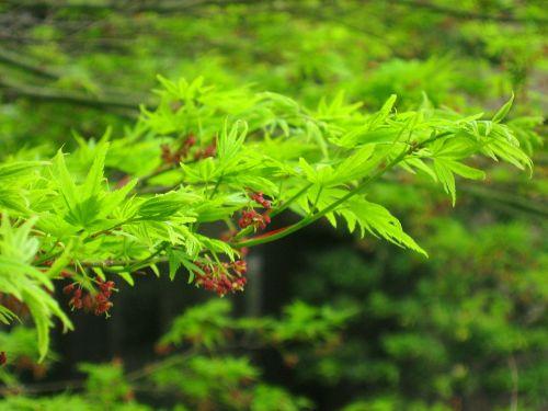 žalias,lapai,filialas,viešbutis,sodas,miestas,Tokyo,takanawa,pavasaris,3 mėnesiai,Japonija