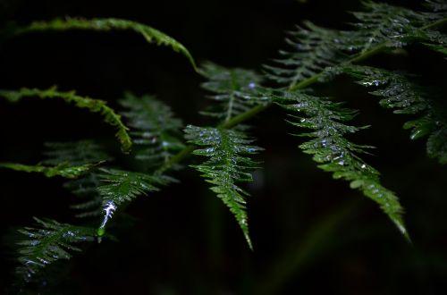 žalias,augalas,papartis,vanduo,šlapias,lietus,žalias lapas,Uždaryti