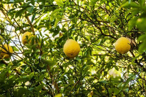 žalias,kalkės,vaisiai,citrina,gamta,vitamino C