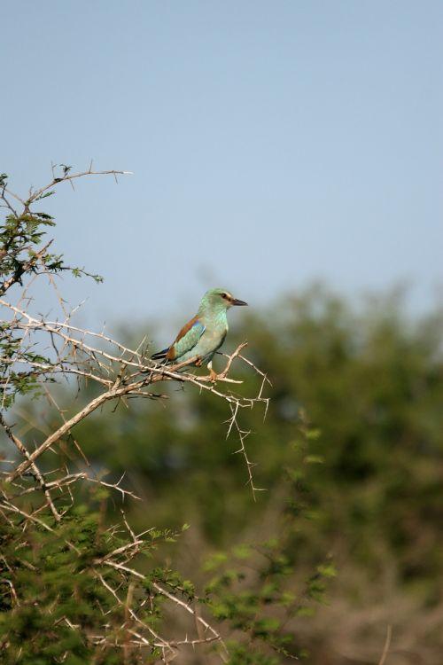 žalia krūtinės volelis,paukštis,laukinė gamta,sustingęs,spygliuočių krūmas,spalvinga plunksna