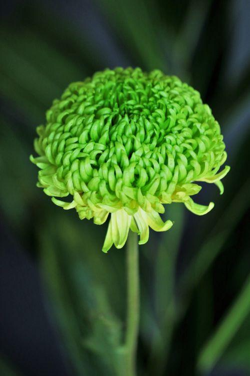 gamta, gėlės, žalias & nbsp, gėlė, pavasaris & nbsp, gėlė, chrizantema, žalias & nbsp, chrizantema, mama, žalias & nbsp, mama, žydėti, gėlių & nbsp, žiedlapių, žalias & nbsp, gėlių & nbsp, žiedlapių, tamsus & nbsp, fonas, žalia chrizantema uždarame