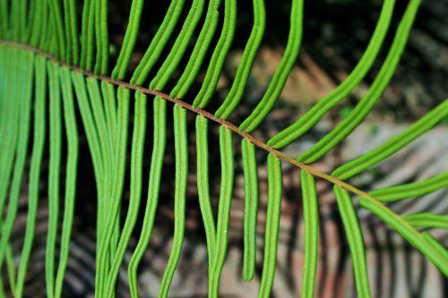 lapai, lankstinukai, papartis, žalias, tvirtas, žalias paparčio lapas