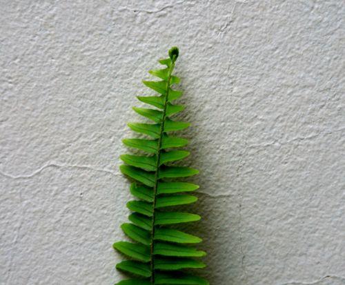 lapai, lankstinukai, tiesus, žalias, papartis, siena, žalias paparčio lapas