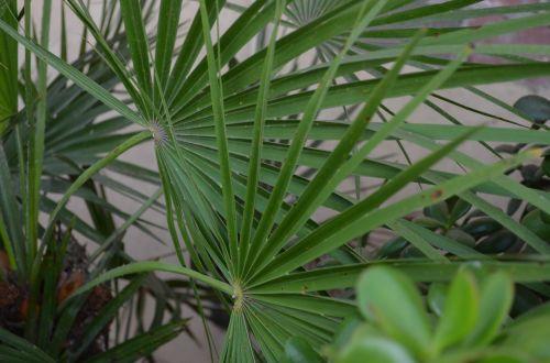 žaluma, žalia lapija