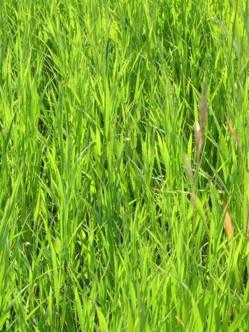 žalia žolė, žalias, žolė, gamta, natūralus, veja, vasara, fonas, tekstūra, modelis, žalia žolė
