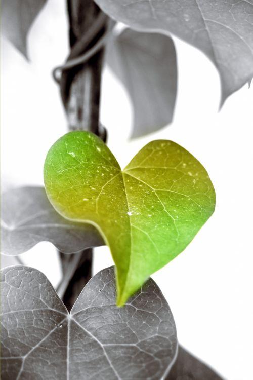 žalias, lapai, creeper, augalas, lapija, gamta, žalias lapas