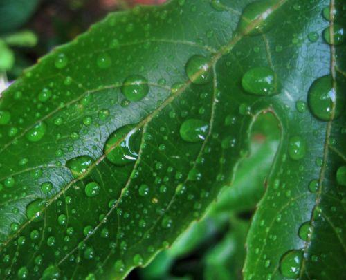 lapai, žalias, lašai, vanduo, lietus, žalias lapas su lietaus lašais