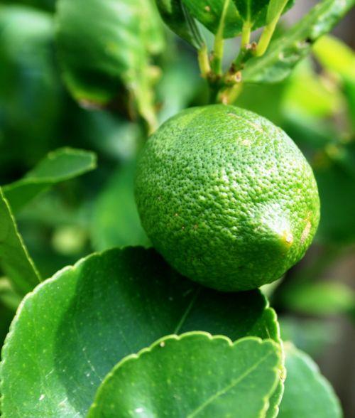 žalia citrina,vaisiai,citrina,žalias,lapai,rūgštus,neprinokęs