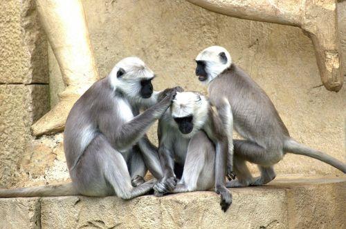 žalia beždžionė,beždžionė,senojo pasaulio beždžionė,beždžionių šeima,affchen,ape