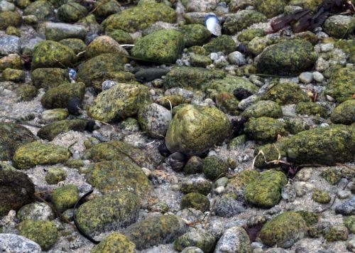 Rokas, akmenys, žalias, samanos, jūra, papludimys, pajūris, vandenynas, geografija, žemė, Asilomar, Kalifornija, vasara, žalios samanos uolos