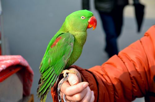 gyvūnai, paukštis, papūga, žalia paprikas, naminis gyvūnėlis, egzotiškas, sąskaitą, plunksnos, spalvinga, žalia papūga 1