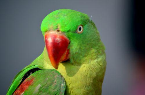 gyvūnai, paukštis, papūga, žalia paprikas, naminis gyvūnėlis, egzotiškas, sąskaitą, plunksnos, spalvinga, žalia papūga