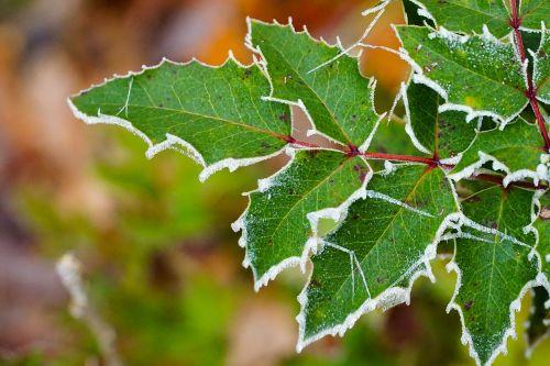 žalia augalas,gamta,sušaldyta,žalias,augalas,lapai,lapai,rasa,sniegas,žalias lapas,Dantyta bio,dantytas kraštas,žiema,kraštas