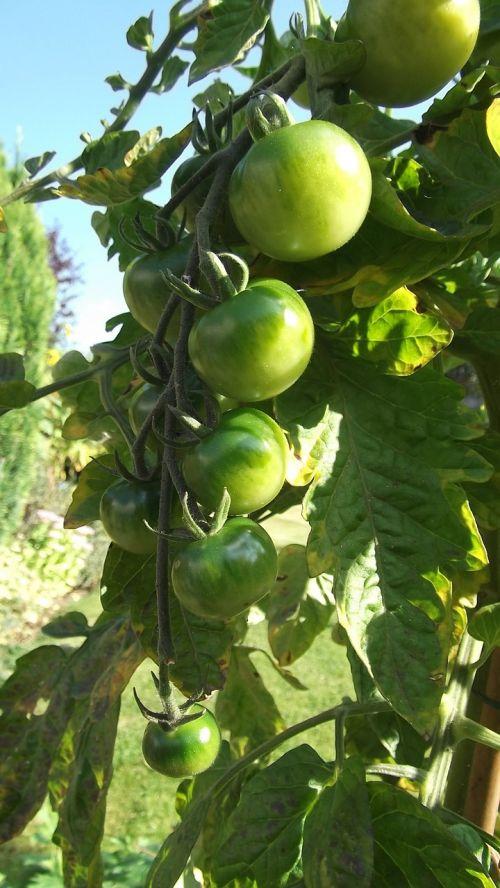žali pomidorai,saulė,paskirstymas