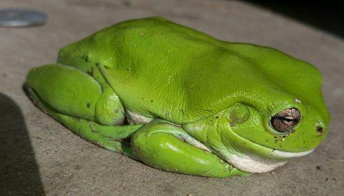 žalia medžio varlė, varlė, Australijos varlė, medis, amfibija, gyvūnas, laukinė gamta, padaras, šlapias, laukiniai, pelkė, pelkė, kermit varlė, australia, Šalis, žalias