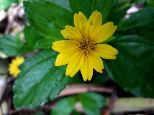 žaluma,gėlė,geltona