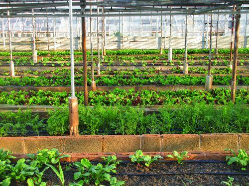 šiltnamyje, Žemdirbystė, ūkis, miesto ūkininkavimas, sodininkystė, sodas, vietinis maistas, auga, daržovių, miesto, dirvožemis, salotos, žalumos, ūkininkavimas, virginia, ekologiškas, maistas, mityba, sveikas, augti, augalas, salotos, žemės ūkio, be honoraro mokesčio