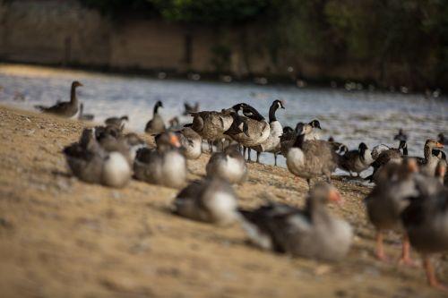 lauke, natūralus, parkas, paukštis, upė, mušti, kulka, padaras, plaukti, plunksna, antis, greylag, ežeras, pilka, paukščių stebėjimas, vandens paukščiai, portretas, pilka, šeima, sparnas, jaunas, snapas, žąsis, fauna, graylag, vanduo, anser, laukiniai, gamta, žiūrėti, skaitymas, gyvūnas, pilka žąsis