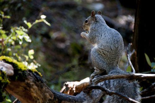 voverė, voverės, graužikai, gyvūnas, laukinė gamta, pilka, pilka, sėdi, valgymas, Laisvas, viešasis & nbsp, domenas, pilka voverė