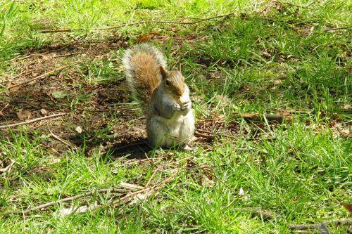 pilka voverė,voverė,gyvūnai,žinduolis,Britanijos voverė,nager,graužikas,mielas,slėptuvė,Anglija,Uždaryti