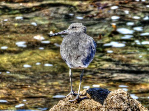 paukštis, paukščiai, vandenynas, jūra, papludimys, laukinis & nbsp, gyvenimas, pilka & nbsp, vada, pilka & nbsp, vada, pilka vanduo jūroje