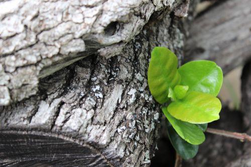 mediena, žievė, tekstūra, žalios spalvos & nbsp, lapai, lapai, pilka, balta, gamta, natūralus, graži, zen, pilka mediena ir žali lapai