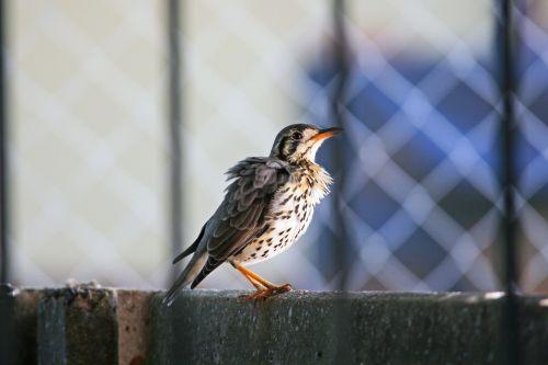 paukštis, paukštis, fauna, pienelis, sparnuotas, plunksnos, sugadintas, raguotas, veidas & nbsp, pažymėtas, skalbyklė krūtinė ant sienos