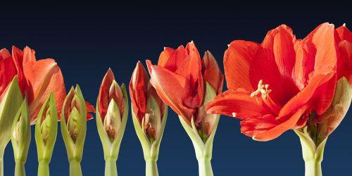 augti,žiedas,laiko tarpas,seka,amaryllis,gėlė,augalas,botanika,doldiger žiedadulkės,Uždaryti,anksti,raudona